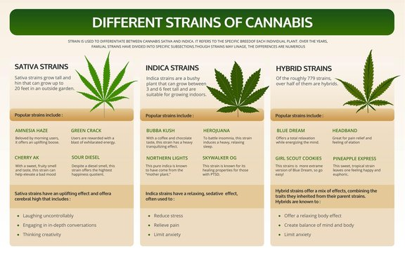 Different strains of cannabis horizontal textbook infographic illustration about cannabis as herbal alternative medicine and chemical therapy, healthcare and medical science vector.