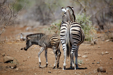 Burchell's Zebra (Equus burchelli) with Foal. Timbavati, Kruger Park, South Africa