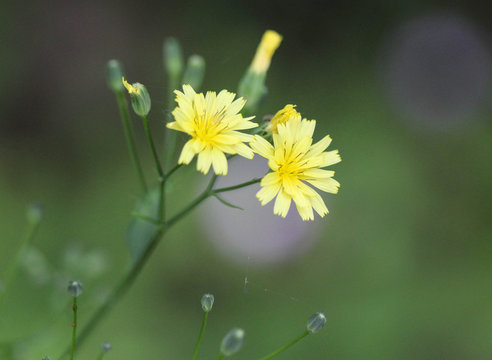 Lapsana communis, the common nipplewort, blooming in spring