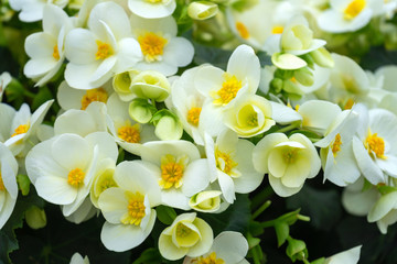 yellow flowers of Begonia grandis, lovesickness, bitter love.