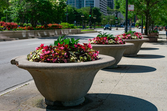 Pink Begonia Flowers in a Planter along Michigan Avenue near Grant Park in Chicago