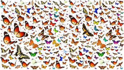 Butterflies migrating flight. Isolated on a white background. Wildlife. Insects. Colors. Nature  Fotoväggar
