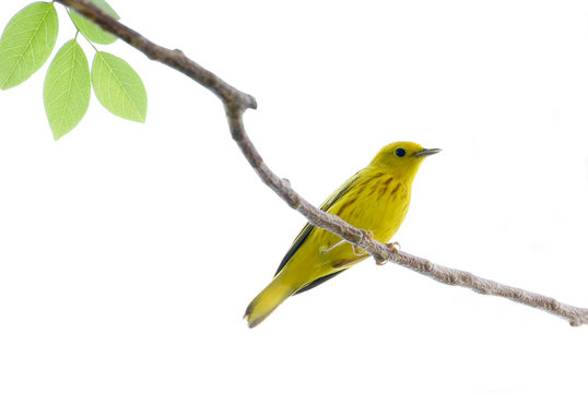 Yellow Warbler (Setophaga petechia) perched on a tree branch