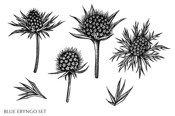 Vector set of hand drawn black and white blue eryngo