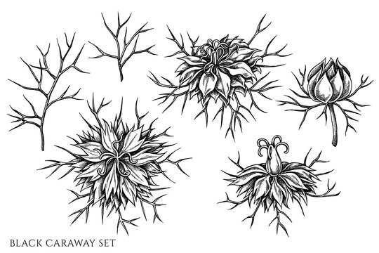 Vector set of hand drawn black and white black caraway