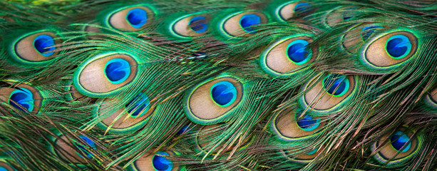 Papiers peints Paon Close-up shot of elegant Peacock feathers.