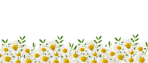 Daisy flowers and green grass in a border arrangement