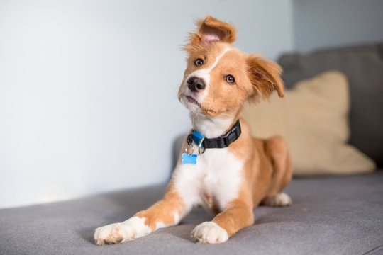 A cute red and white mixed breed puppy lying on a couch and listening with a head tilt