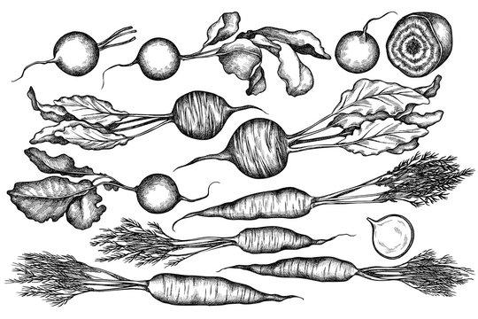 Vector set of hand drawn black and white radish, beet, carrot
