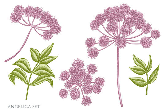 Vector set of hand drawn pastel angelica