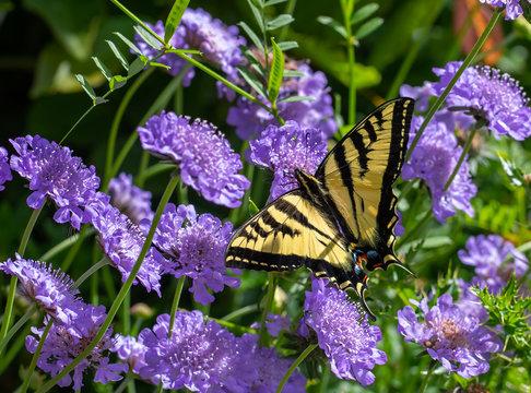 Western Tiger Swallowtail butterfly (Papilio rutulus) on purple Scabiosa