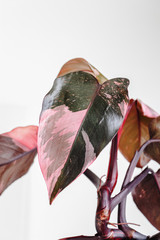 Pholodendron Pink Princess leaves on a white background, creative tropical plant concept, Philodendron Erubescens or Pink Princess