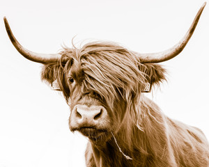 Poster Cow portrait of a highland cow