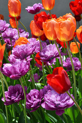 Field of colorful tulip flowers