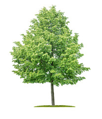 Isolated  tree on a white background - Tilia cordata - Small-leaved linden
