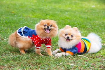 Pet animal; cute pomeranian dog in nature