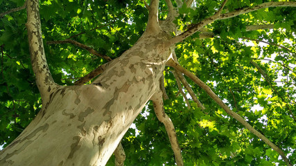 Sycamore tree. Platanus orientalis. Spotted plane tree trunk under sunlight_9