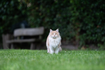 Foto op Aluminium Kat beige white maine coon cat standing on grass in the back yard in front of wooden bench looking at camera