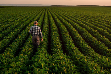 Rear view of senior farmer standing in soybean field examining crop at sunset. Fotomurales
