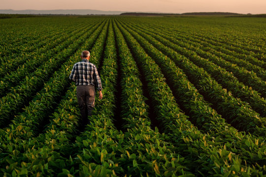 Rear view of senior farmer standing in soybean field examining crop at sunset,