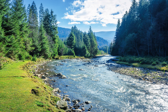 mountain river winding through forest. beautiful nature scenery in autumn. spruce trees by the shore. wonderful piece of synevyr national park landscape in good weather with clouds