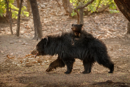 Very rare and shy sloth bear with baby searching for termites. Unique photo of sloth bears family in India. Wild animals in the nature habitat. Wild indian nature.Melursus ursinus.
