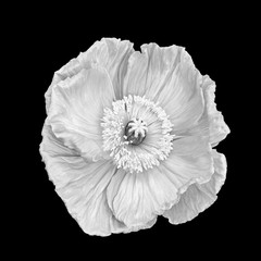 White monochrome silk poppy macro, black background, fine art still life blossom with detailed texture in surrealistic vintage painting style