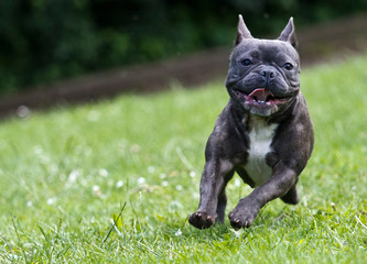 Tuinposter Franse bulldog French bulldog in blue color running over a green meadow
