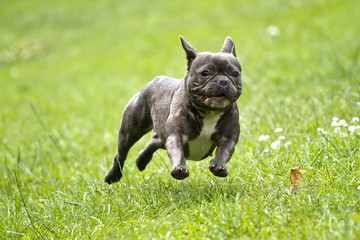 Tuinposter Franse bulldog French bulldog in blue color with a stick in his mouth running over a green meadow