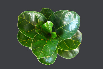 Green  fiddle leaf fig 'Ficus Lyrata' plant with big healthy leaves on dark black background