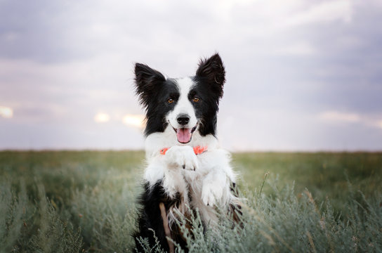 border collie dog cute funny portrait at sunset in magical lights