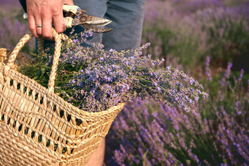 man holds in his hand a wicker bag with lavender and pruner, standing on a lavender field