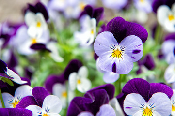 Robust and blooming. Garden pansy with purple and white petals. Hybrid pansy. Viola tricolor pansy in flowerbed. Pansy flowers showing typical facial markings