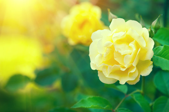 Roses. Beautiful yellow climbing rose blooming in summer garden. Yellow Roses flowers growing outdoors. Gardening concept