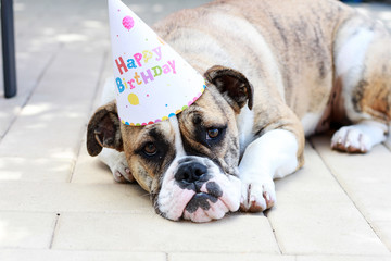 Cute Bulldog Wearing Party Hat Outside 1