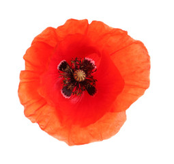 Foto op Aluminium Klaprozen Fresh red poppy flower isolated on white, top view