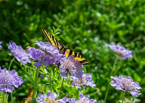 Butterfly, Western Tiger Swallowtail (Papilio rutulus), nectaring on purple Pincushion flowers (Scabiosa)