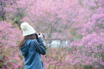 Tourist woman taking a photograph of beautiful cherry blossom flowers blooming in Northern region of Thailand in winter season.