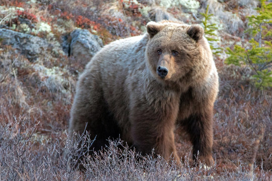 Foraging Grizzly Bear [ursus arctos horribilis] in the mountain above the Savage River in Denali National Park in Alaska United States