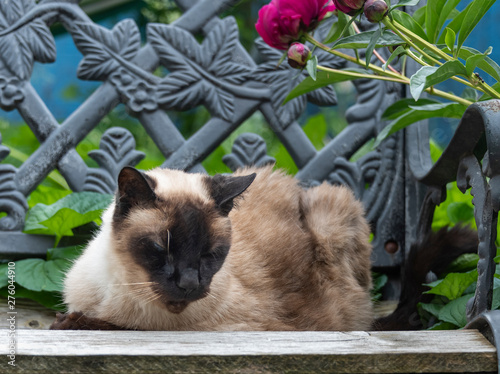 Cool Old Siamese Cat Napping On A Garden Bench Stock Photo And Inzonedesignstudio Interior Chair Design Inzonedesignstudiocom