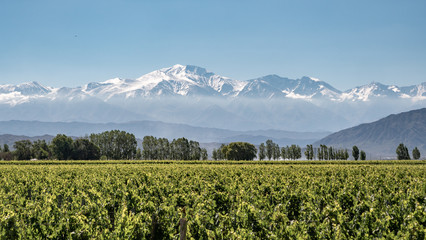 Vineyard with snow mountain Fotomurales