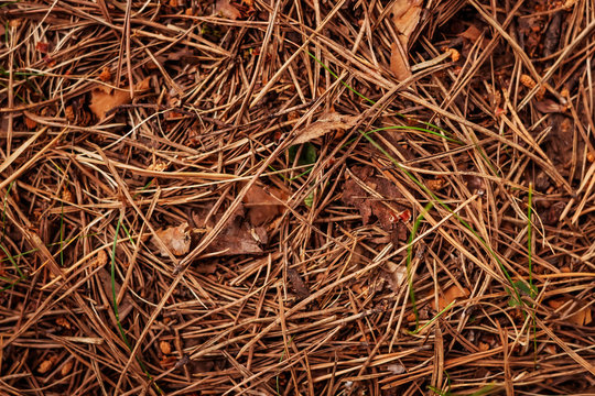 Dry pine needles on the ground and leaves. Autumn. Natural background.