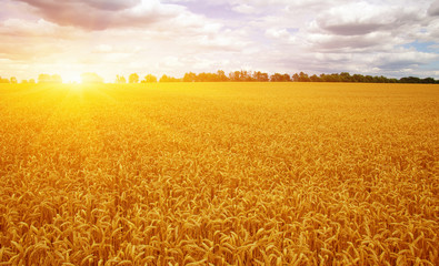 Fotomurales - Wheat field and sun