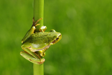 Foto auf AluDibond Frosch Frog on green background