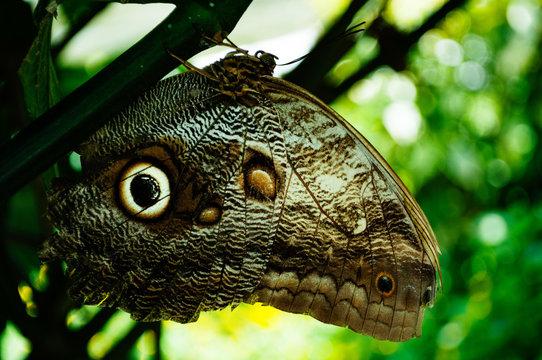 Detalle de mariposa ojo de buho posando sobre un fondo verde en un ambiente natural