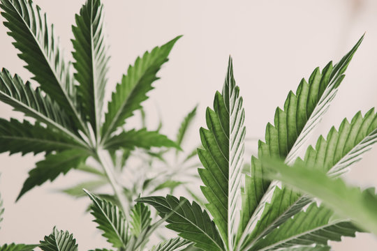 marijuana legalization, marijuana leaves on light, indoor grow cannabis indica, white background cultivation cannabis, Cannabis vegetation plants, hemp marijuana CBD,