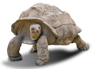 Foto op Plexiglas Schildpad Giant tortoise on white background