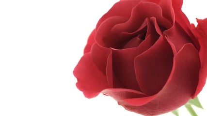 Fotoväggar - Beautiful red rose flower open on white background. Blooming dark purple rose flowers opening closeup. Blossom closeup. Timelapse. 4K UHD video footage. 3840X2160