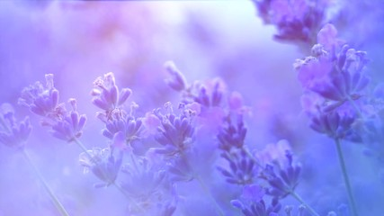 Fotoväggar - Lavender. Blooming fragrant lavender flowers on a field, closeup. Violet background of growing lavender swaying on wind. Slow motion 4K UHD video footage. 3840X2160