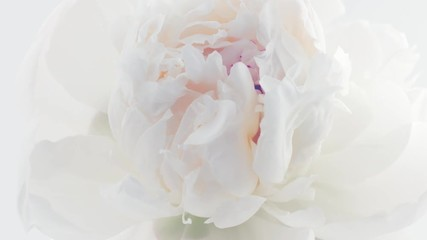 Fotoväggar - Peony. Beautiful white Peony opening background. Blooming peony flower closeup. Timelapse 4K UHD video footage. 3840X2160